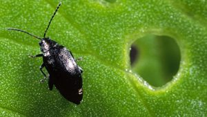 Cabbage Stem Flea Beetle